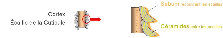 """Résultat de recherche d'images pour """"ecaille du cuticule"""""""