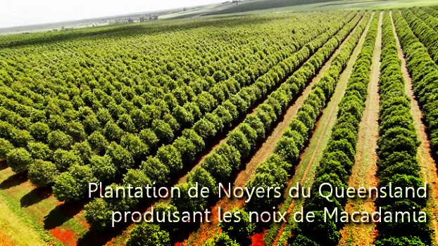 Plantation de Noyers du Queensland